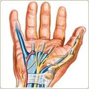 Anatomy of the Hand for nerve repair